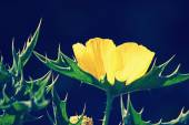 Argemone mexicana, Mexican poppy, Mexican prickly poppy — Stock Photo
