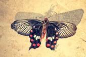 The common Mormon, Papilio polytes is a common species of swallo — Stock Photo