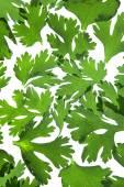 Leaves of Coriander, Coriandrum sativum — Stock Photo