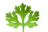 Leaf of Coriander, Coriandrum sativum — Stock Photo