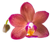 Closeup of beautiful dark red with bud orchid, phalaenopsis is i — Stock Photo