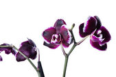 Dark cherry with white rim orchid phalaenopsis is isolated on wh — Stockfoto