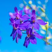 Dark-blue flowers on the clear blue sky, closeup — Stock Photo