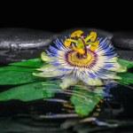 Spa concept of passiflora flower on green leaf, zen basalt stone — Stock Photo #54231419