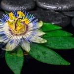 Spa concept of passiflora flower on green leaf, zen basalt stone — Stock Photo #54231443