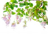 Blossoming beautiful delicate white with pink fuchsia, isolated — Stock Photo