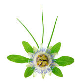 Blooming fresh passionflower flower with leaves and foliage is i — Stock Photo