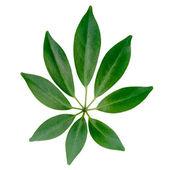 Closeup of exotic shefler leaf is isolated on white background  — Stock Photo