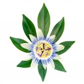 Closeup of exotic passion flower on the leaf is isolated on whit — Stock Photo