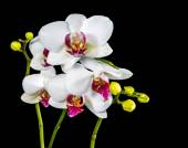 Beautiful branches white and red orchid flower (phalaenopsis) wi — Stock Photo