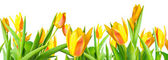 Panorama blossoming spring yellow Tulips flower colorful is isol — Stock Photo