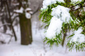 Covered Christmas fir branch with snow and drops in winter fores — Stock Photo