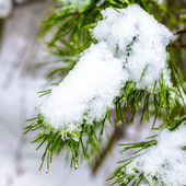 Covered Christmas fir branch with snow and drops in winter fores — Foto Stock