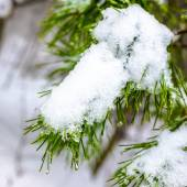 Covered Christmas fir branch with snow and drops in winter fores — Stockfoto