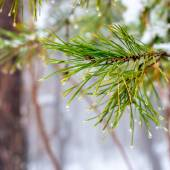 Natural Christmas fir branch with drops in winter forest, closeu — Stock fotografie