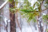 Natural Christmas fir branch with drops in winter forest, closeu — Foto de Stock