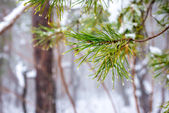 Natural Christmas fir branch with drops in winter forest, closeu — Foto Stock