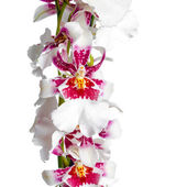 Blooming beautiful branch of dark cherry with white orchid flowe — Stock Photo