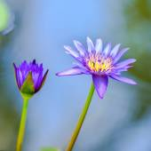 Beautiful lilac waterlily or lotus flower in blue water, closeup — Stock Photo
