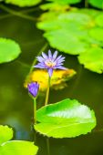 Beautiful blue lily against the water and green leaves, closeup  — Stock Photo