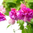 Blossoming beautiful branch of delicate colorful fuchsia, isolat — Stock Photo #57059441