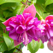 Blossoming beautiful branch of delicate colorful fuchsia, isolat — Stok fotoğraf