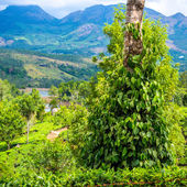 Fresh green leaves pepper (Piper Nigrum) growing on the tree tea — Stock Photo