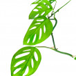 Beautiful young green monstera (var. expilata) twig is isolated — Stock Photo #58185833