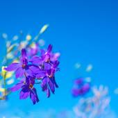 Dark-blue flowers on the clear blue sky, closeup — Stock Photo