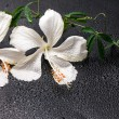 Spa concept of blooming delicate white hibiscus, green twig with — Stock Photo #58901641