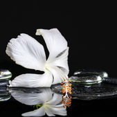 Cryogenic spa concept of delicate white hibiscus, zen stones wit — Stockfoto