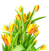 Blossoming bunch spring yellow Tulips flower colorful is isolate — Stockfoto