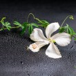 Beautiful blooming delicate white hibiscus, green twig with tend — Stock Photo #59530991