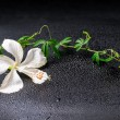 Beautiful blooming delicate white hibiscus, green twig with tend — Stock Photo #61026233