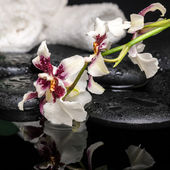 Healthcare concept of orchid Cambria flower with drops and white — Stock Photo