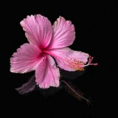 Spa still life of pink hibiscus flower with drops in deep water, — Stock Photo