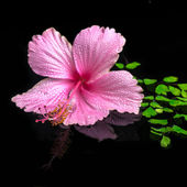 Spa concept of pink hibiscus flower on green branch fern with dr — Stock Photo