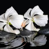 Beautiful spa concept of two delicate white hibiscus, zen stones — Stock Photo