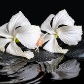 Beautiful spa concept of two delicate white hibiscus, zen stones — Stockfoto