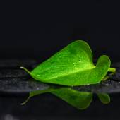 Beautiful spa background of green leaf Calla lily on zen basalt  — Stock Photo