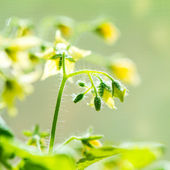 Spring seedling plant of blooming young tomato on blur green bac — Stock Photo