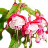 Beautiful red and white fuchsia flower is isolated on the white — Stock Photo
