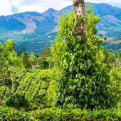 Fresh green leaves pepper (Piper Nigrum) growing on the tree tea — Stock Photo