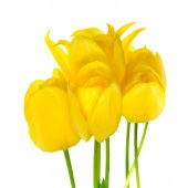 Beautiful bouquet of spring yellow Tulips flower is isolated on  — Stock Photo