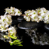 Spa background of zen stones, blooming twig of plum with reflect — 图库照片