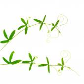 Two green branches of passionflower with tendrils is isolated on — Stock Photo