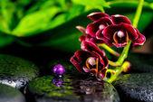 Beautiful spa background of dark cherry flower orchid phalaenops — Stock Photo