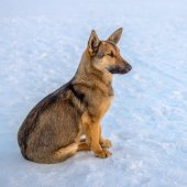 Dog sitting on the ice of the river at sunset and looking — Stock Photo