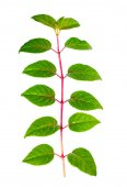 Green branch of seedling fuchsia with drops is isolated on white — Stock Photo