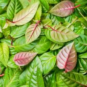Green and red leaves of fuchsia as background, closeup — Stock Photo